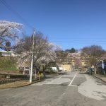 北山霊園の桜が開花しました